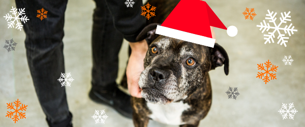 A photo of one of our client's dogs, Milo. Milo is a staffordshire bull terrier. In the photo Milo is wearing a Christmas hat graphic and is surrounded by graphic snowflakes.