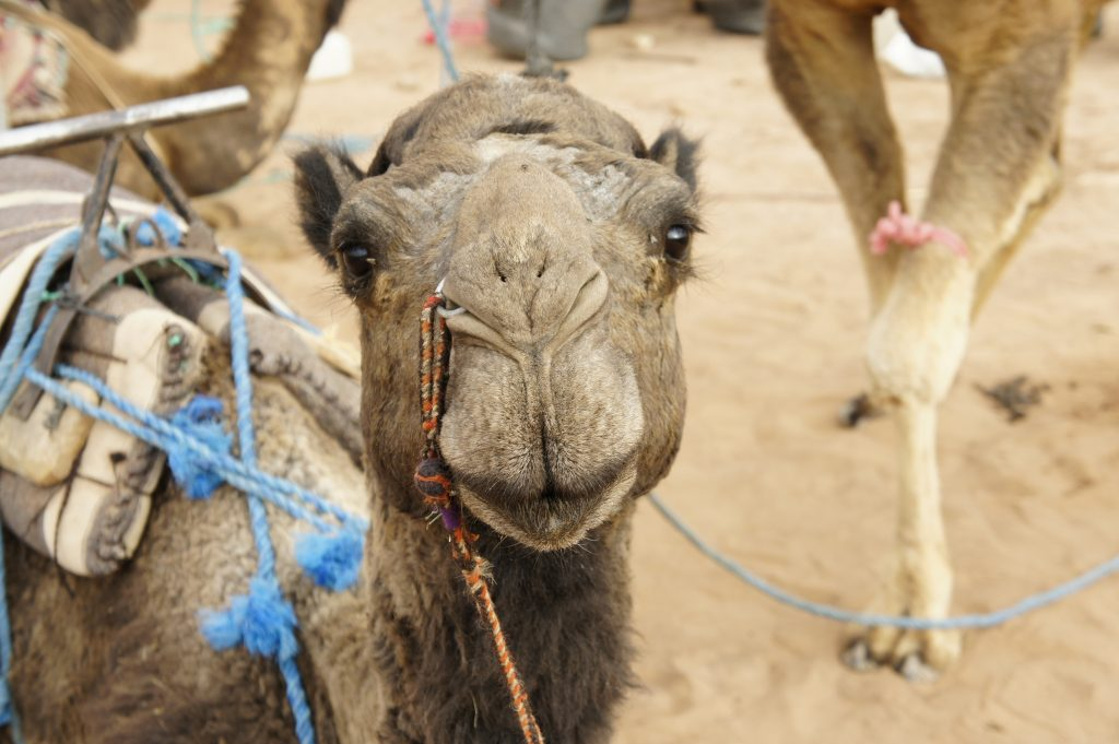 Photo of a camel